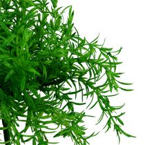 Asparagus bush green 25cm