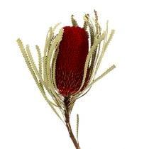 Banksia Hookerana red 7pcs
