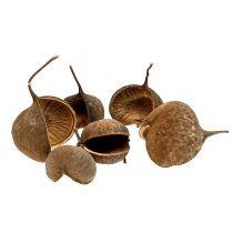 Buddha Nut Natural 15pcs