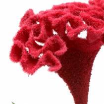 Celosia cristata Cocks comb red 72cm