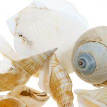 Decorative snail shells Sea snails nature Maritime decoration 350g