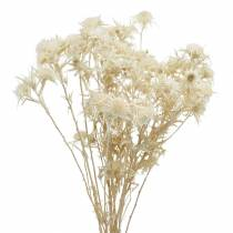 Dried flower thistle twig Bleached 80g