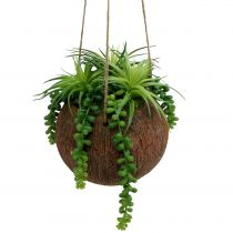 Hanging plants Succulents in a pot L60cm Ø16cm