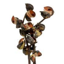 Hakea medium natural 5-9 heads per branch 20pcs