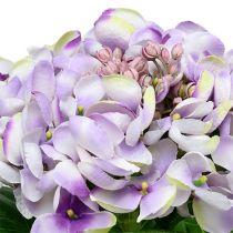 Hydrangea Purple-White 60cm