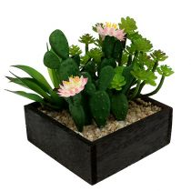 Cactus with blossom 14cm in wooden box