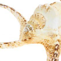 Lambis sea snail nature 22cm