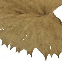 Lotus leaves dried nature dry decoration lily pad 50pcs