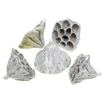 Lotos medium natural frosted 50p