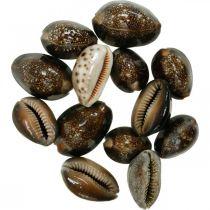Kauri Shell Decoration Nature Maritime Decoration Sea Slugs 500g