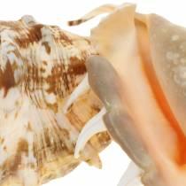 Lambis sea snail natural 14cm 10pcs