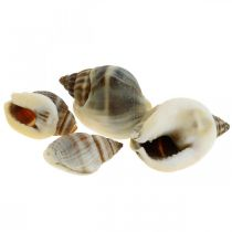 Natural decoration, snail shells natural 1–2cm, shell decoration 1kg