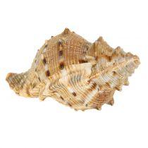 Shell assortment nature 500g