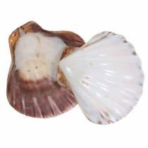 Shell decoration scallops polished 12-13cm 4pcs