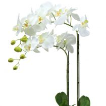 Orchid white on bale 65cm