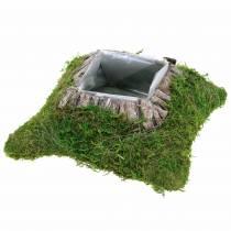 Plant cushion moss, bark 25cm × 25cm