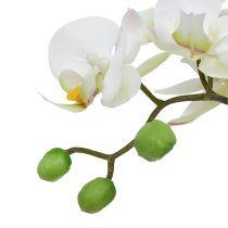 Phalaenopsis cream in ceramic pot 33cm