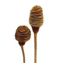 Platyspermum Creme 1-3, 50 heads