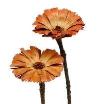 Repens rosette natural 6-7cm 50p