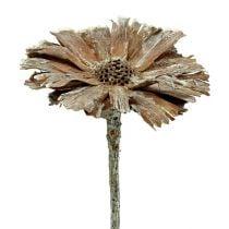 Protea rosette 8-9cm white washed 25pcs