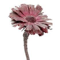 Protea rosette heather frosted Ø8-9cm 25pcs