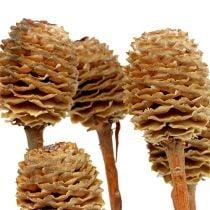 Sabulosum 4-6 heads per branch 25pcs
