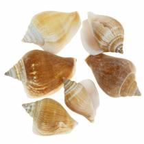 Snail shells Strombus canarium nature 1050g