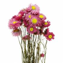 Straw flower in a bunch Pink dried flowers 25g