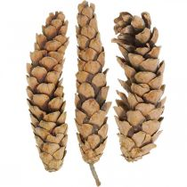 Pine cones Weymouth Pine Strobus Natural Mixed 2.5kg