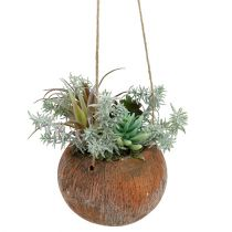 Succulent green in pot for hanging 24cm
