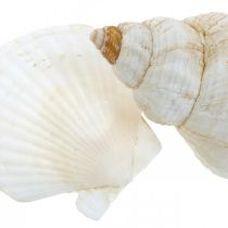 Table decoration maritime decoration shells and snail shells mix white 350g