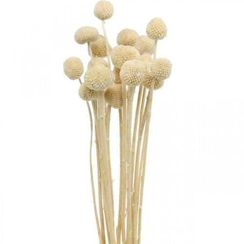 Craspedia dried cream drumstick dry floristry 20pcs