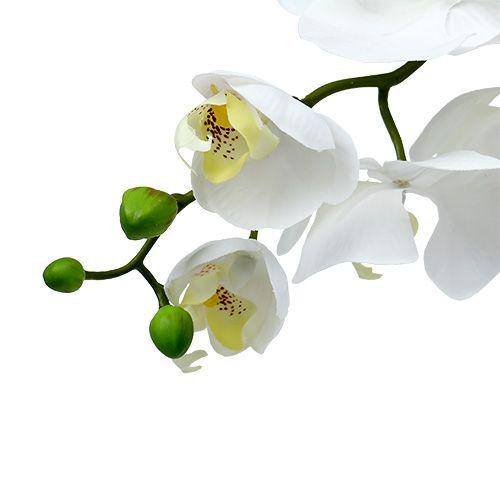 Night-Moth orchid 75cm white