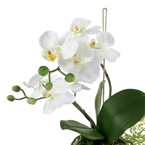 Orchid Phalaenopsis to hanging H33cm cream
