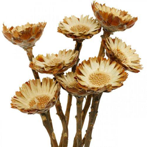 Protea Compacta Rosette Natural Dried Flower Sugar Bush 8pcs