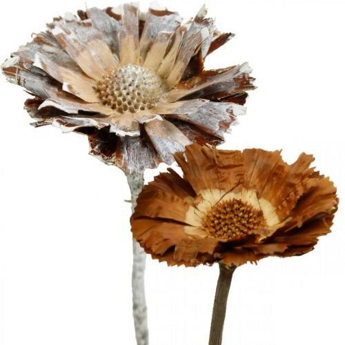 Exotic Mix Protea Rosette Natural, White Washed Dried Flower 10pcs