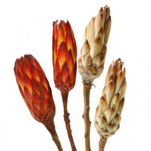 Protea Mix, Dried Flowers Respens Natural / Red 13pcs