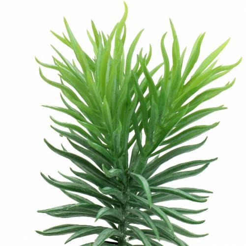 Succulent Senecio ragwort green 20cm