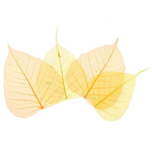 Willow leaves skeletonized yellow, orange 200pcs