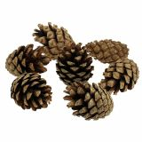 Mountain pine thong 15kg